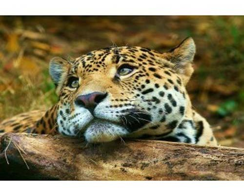 Leoparın İntikamı 1