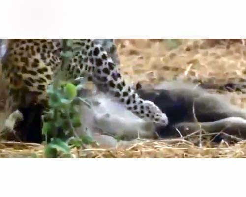 Leoparın İntikamı 2