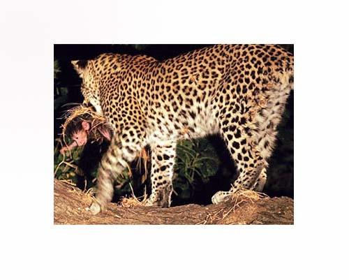 Leoparın İntikamı 8