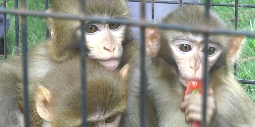 Down sendromlu maymun ilgi odağı