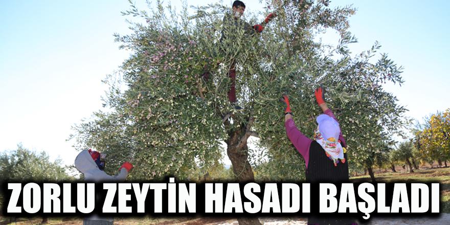 Zorlu zeytin hasadı başladı