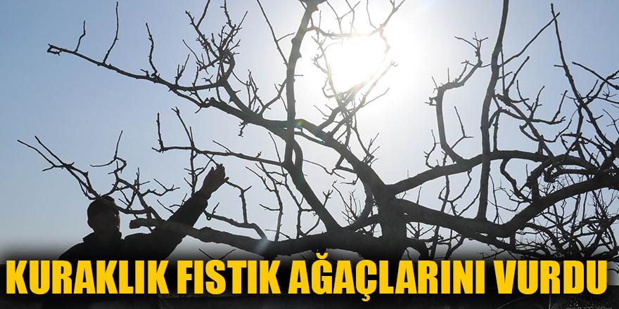 Kuraklık fıstık ağaçlarını vurdu