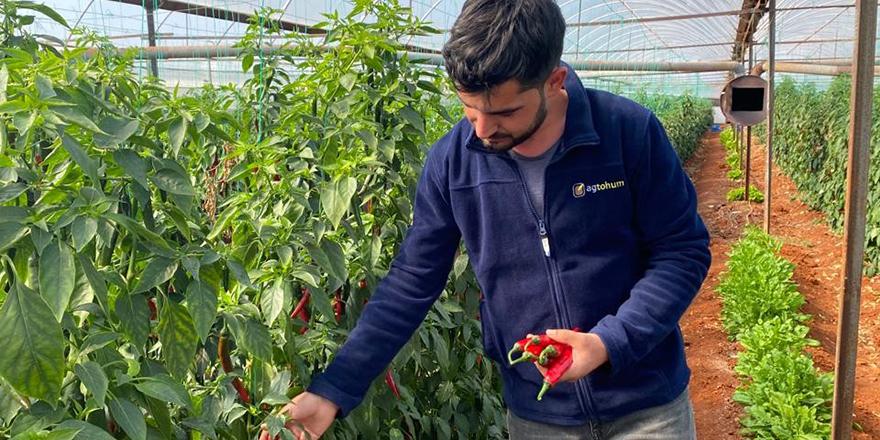 Antalya, Güneydoğu illerine 'şili biberi' gönderiyor