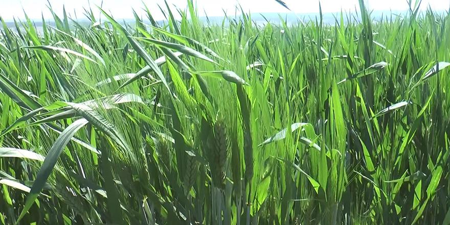 Buğday yüz güldürdü