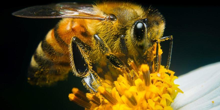Bilim insanları arılara corona virüsü koklamayı öğretti: