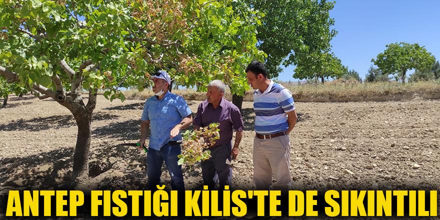 Antep fıstığı Kilis'te de sıkıntılı
