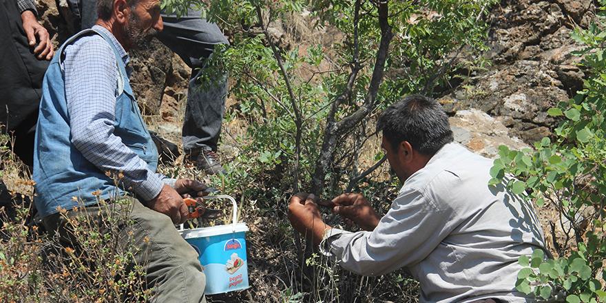 Menengiç ağaçları Antep fıstığına aşılanıyor