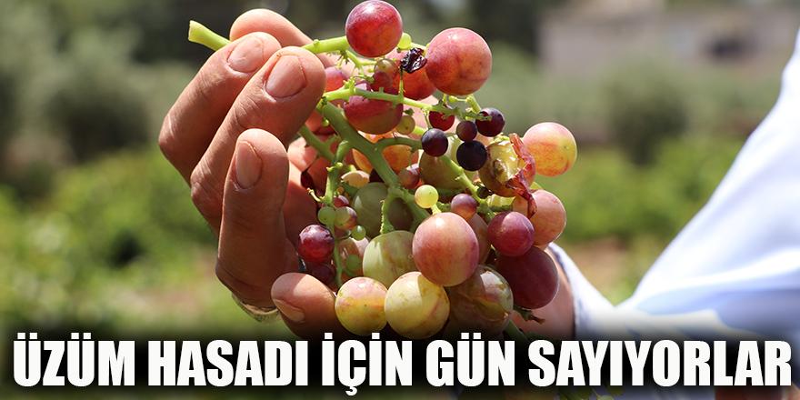 Üzüm hasadı için gün sayıyorlar