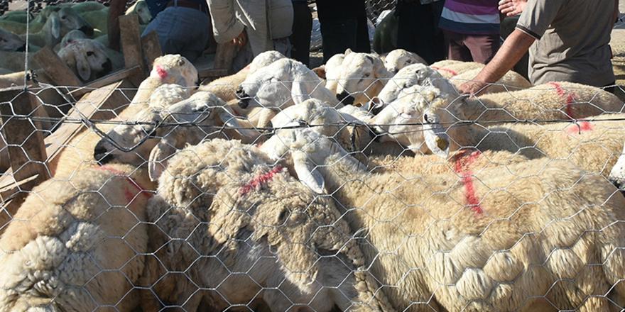 Satılamayan kurbanlıkları Et ve Süt Kurumunun alacak