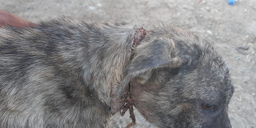 2 aylık köpeğin yaşam mücadelesi
