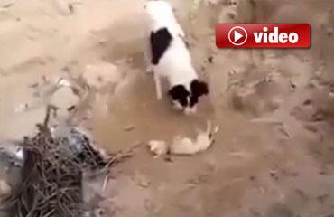 Anne köpek, yavrusunu böyle gömdü
