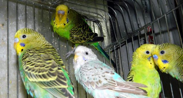 Muhabbet kuşları el bebek