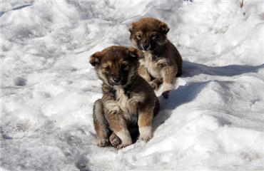 Yavru köpeklerin soğuklarla mücadelesi