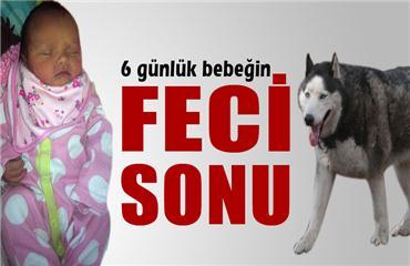 Alaska Kurdu cinsi köpek 6 günlük bebeği öldürdü