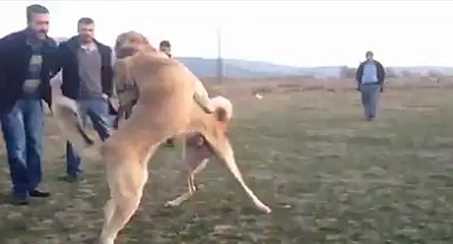 Köpek dövüşüne ceza
