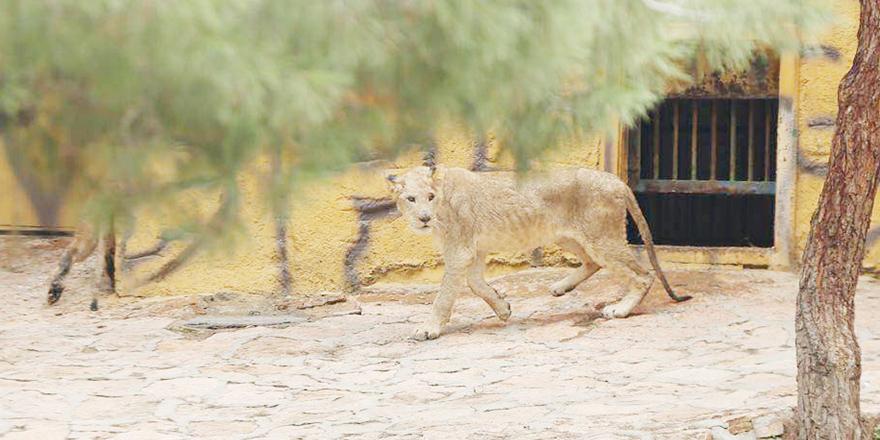 Reis'in aslanlarına yoğun ilgi