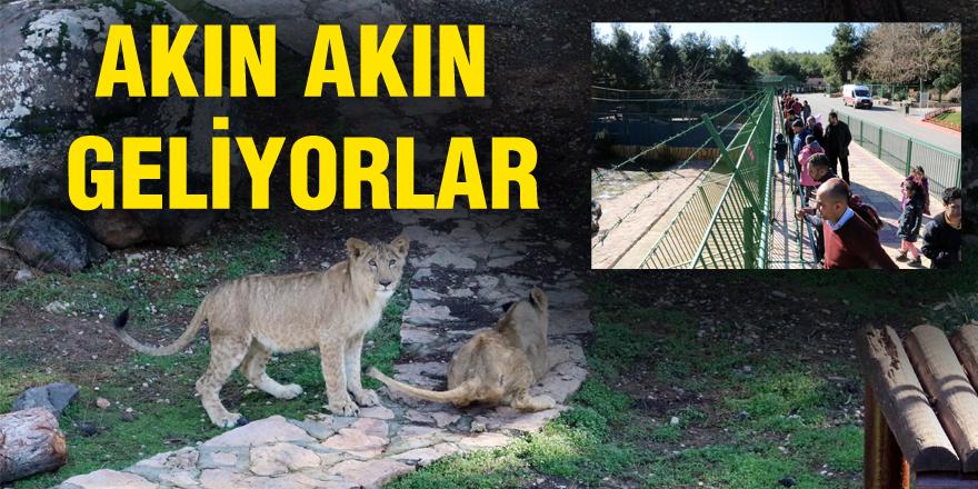 Aslanları günde 33 bin 500 kişi ziyaret etti
