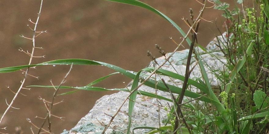 Dağda yetişen sarımsak araştırılmalı
