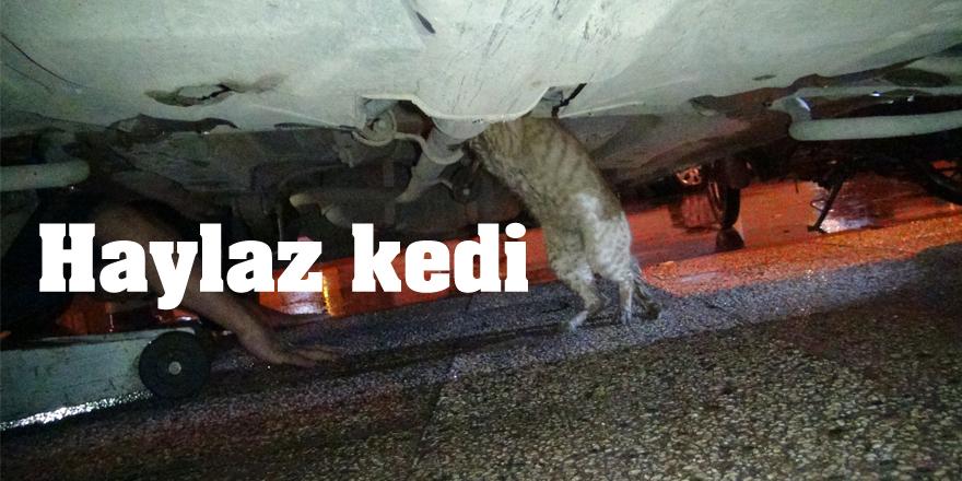 Haylaz kedi