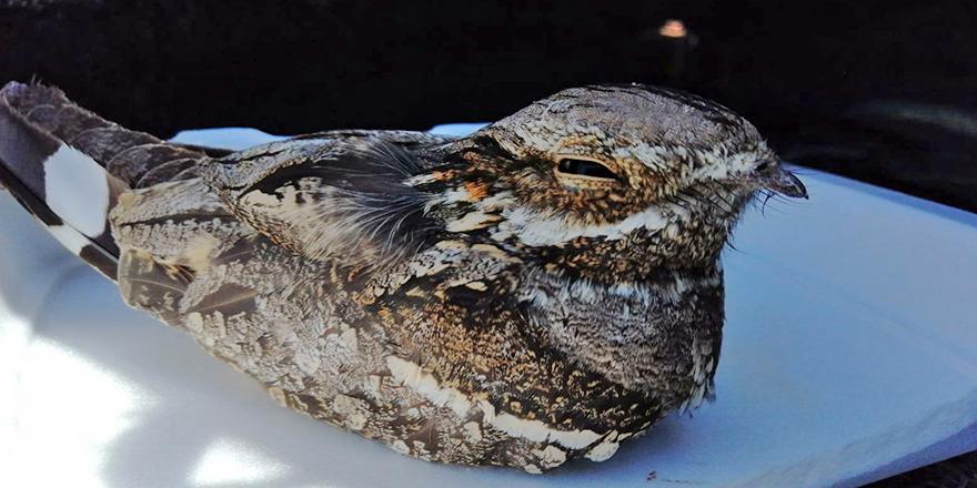 Sakallı ebabil kuşu bulundu