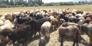 Muş'tan Gaziantep'e kuzu sevkiyatı