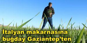 İtalyan makarnasına buğday Gaziantep'ten
