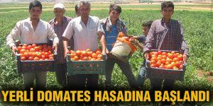 YERLİ DOMATES HASADINA BAŞLANDI