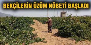 Bekçilerin üzüm nöbeti başladı