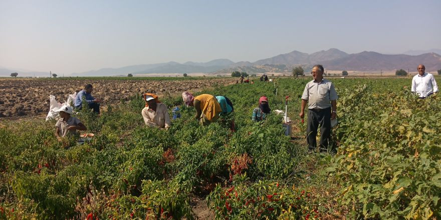 Gaziantep'te kırmızı biber hasadı başladı