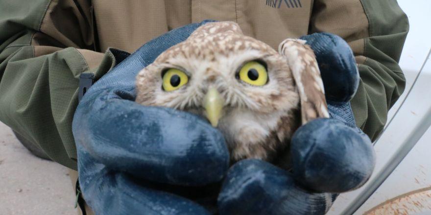 Aracın göğüs kısmına sıkışan yaralı kukumav kuşu serviste çıkarıldı