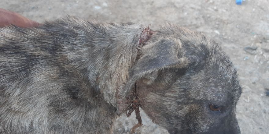 Naylon ip köpeğin boynunu kesti