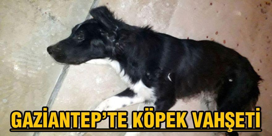 Gaziantep'te köpek vahşeti