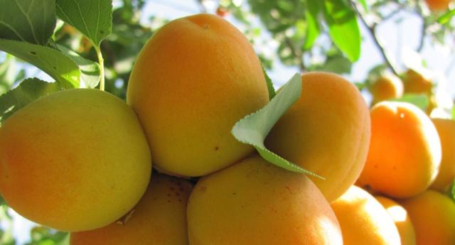 Organik meyvecilik gelişiyor